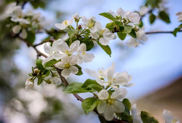 Mooie tak van een bloeiende appelboom