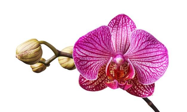 Mooie takje paarse orchideebloem en knoppen geïsoleerd op zwarte achtergrond.