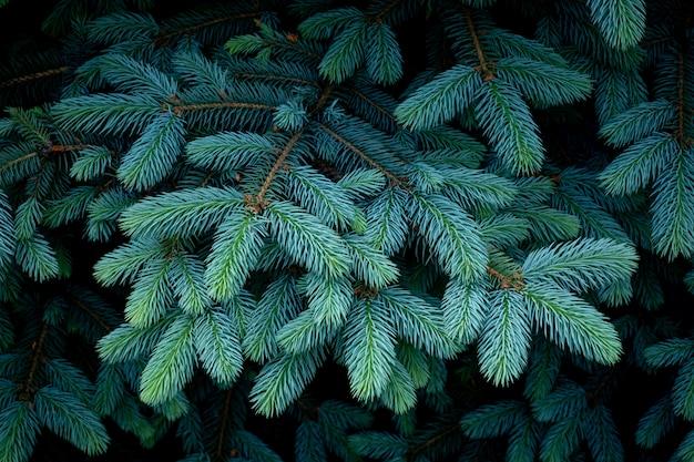 Mooie takken van sparren met jonge naalden. kerstboom in de natuur. blauwe spar