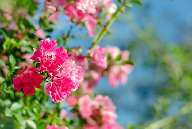 Mooie tedere roze kleine roosjes