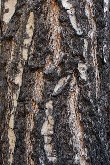 Mooie textuur van de oude gebarsten berkenschors. geschikt voor achtergrond.