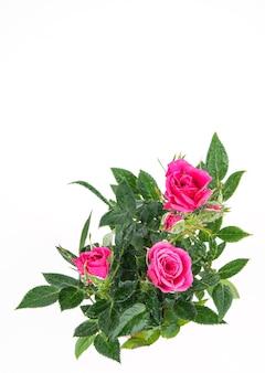 Mooie thee rozenstruik met roze bloemen op een geïsoleerde achtergrond