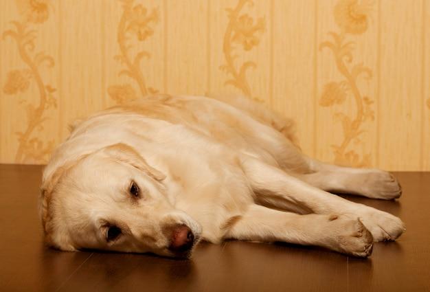 Mooie thuis gefotografeerde golden retrieverhond