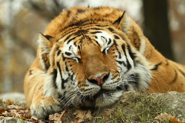 Mooie tijger in dierentuinsafari