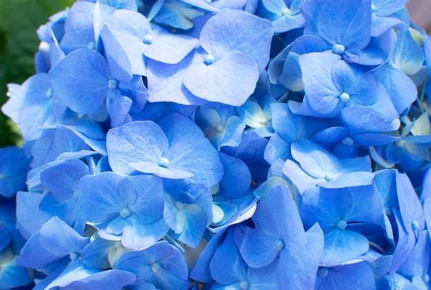 Mooie tot bloei komende tedere blauwe hortensiabloemen