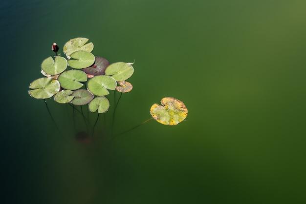 Mooie tropische leliestootkussens in een vijver