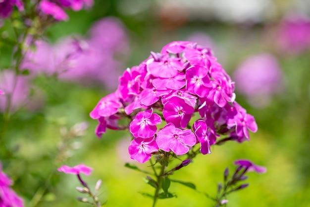 Mooie tuinbloem in bloei. phlox paniculata.