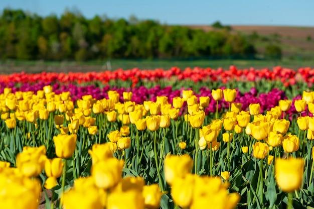 Mooie tulp op wazig lente zonnig. heldere tulpenbloem voor lente of liefdesconcept.