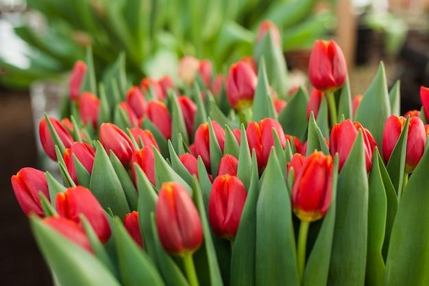 Mooie tulpen die in een serre worden gekweekt