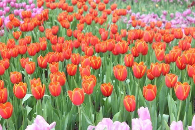 Mooie tulpen in de schaduwrijke tuin