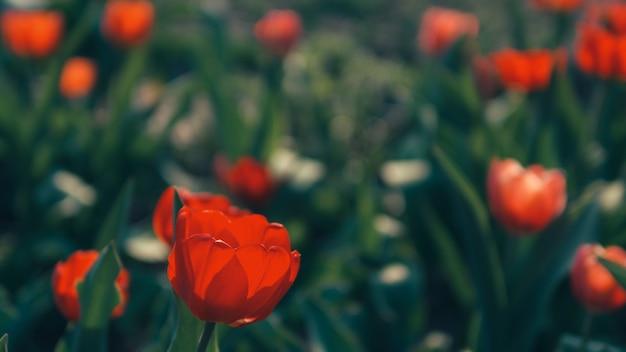 Mooie tulpenbloei in de tuin. de lentebloemen met exemplaarruimte