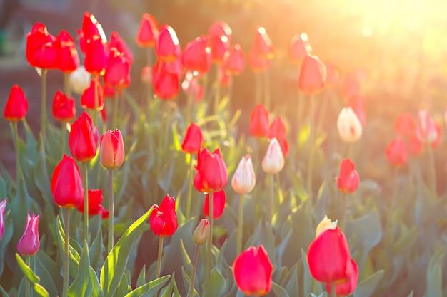Mooie tulpenbloemen die in tuin onder zonlicht bloeien.