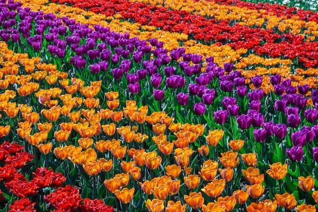 Mooie tulpengebieden in nederland in de lente onder een zonsonderganghemel