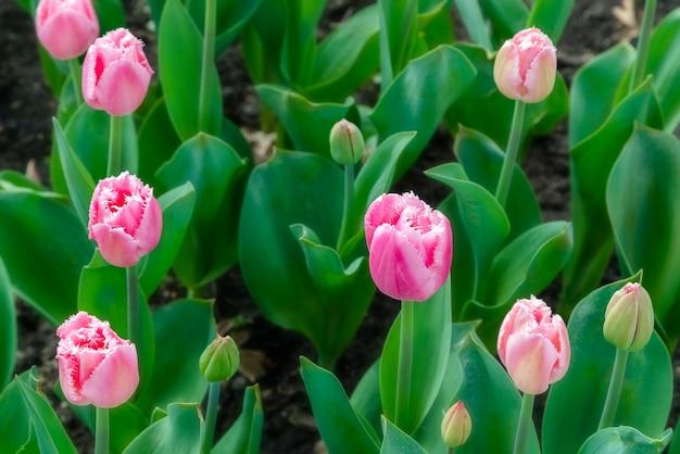 Mooie tulpenveldplantage. commerciële teelt van tulpen in botanische tuin