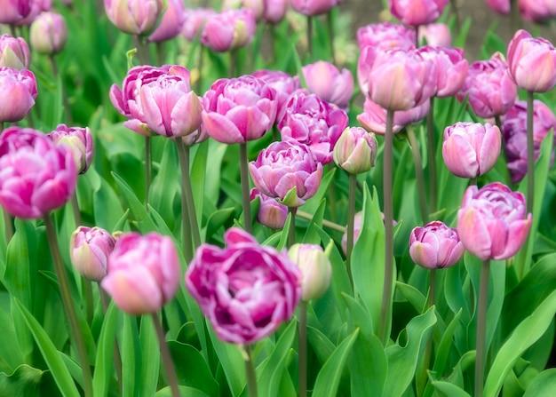 Mooie tulpenveldplantage. commerciële teelt van tulpen in de botanische tuin