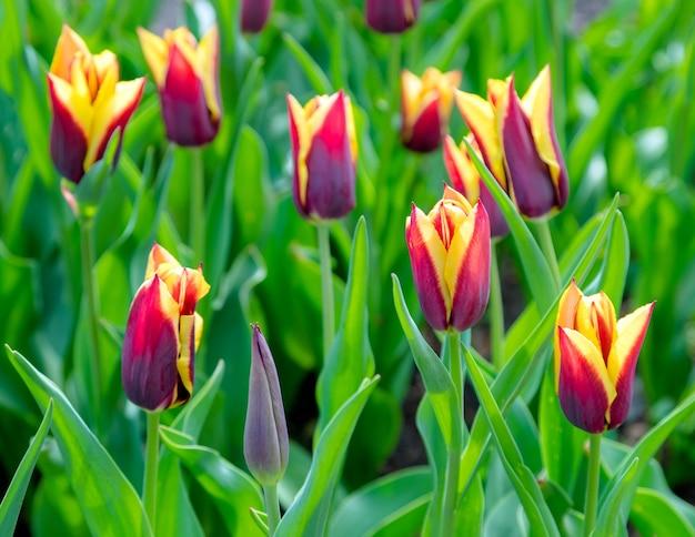 Mooie tulpenveldplantage