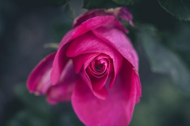 Mooie valentine rose bud natuur liefde achtergrond, mooie roze rozen op boom bush bladeren.