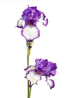 Mooie veelkleurige irisbloem die in wit wordt geïsoleerd.