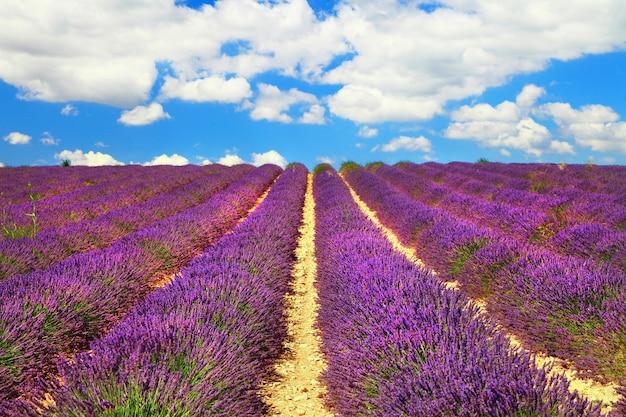 Mooie velden van bloeiende lavanda