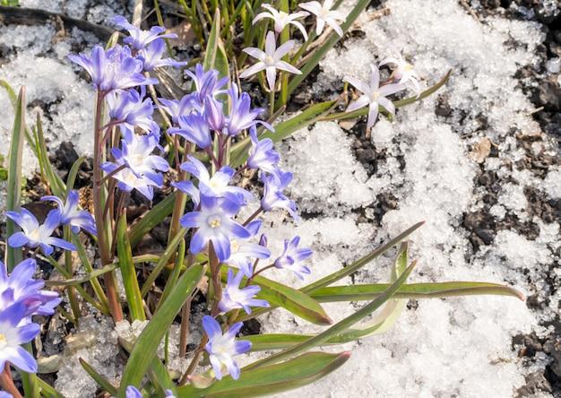Mooie verse blauwe lentebloemen in sneeuw