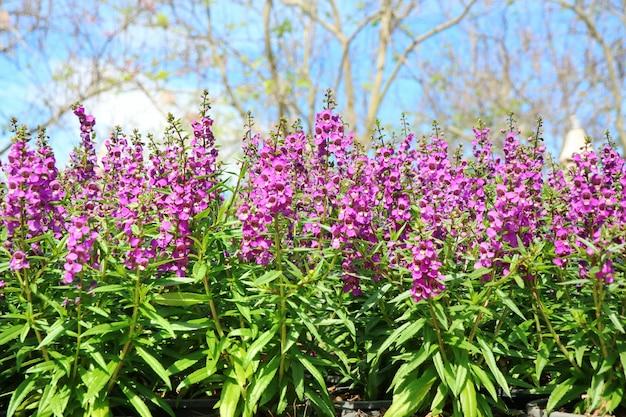 Mooie violette bloemen, paarse angelina, met grote bomen en blauwe lucht