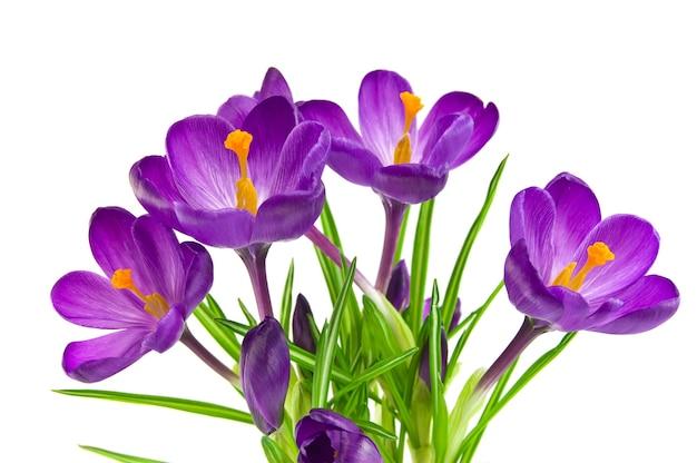 Mooie violette krokus die op wit wordt geïsoleerd