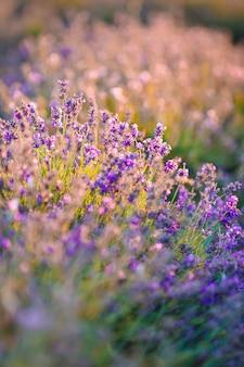 Mooie violette lavendel in het veld close-up Premium Foto