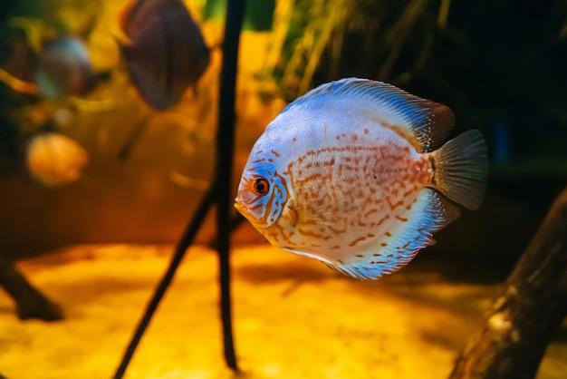 Mooie vissen discus symphysodon aequifasciata axelrodi zwemmen onder water