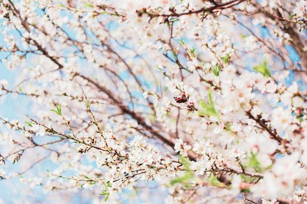 Mooie vlinder in amandelbloemen in de boom met blauwe hemel erachter tijdens de lente