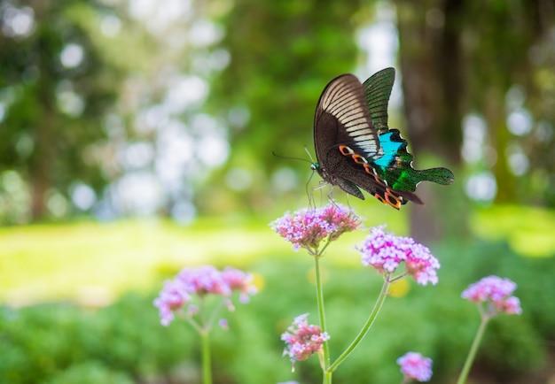 Mooie vlinder op roze kleurenbloemen op ochtend