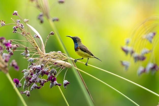 Mooie vogel, geel-doen zwellen sunbird met thalia-dealbatabloem