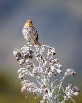Mooie vogel met geribbelde borst neergestreken op een witte paramo plant