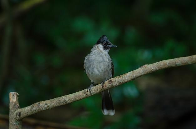 Mooie vogel roetig onder leiding van bulbul