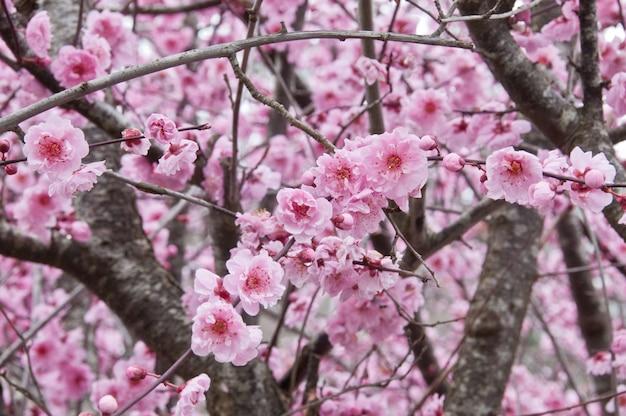 Mooie volle bloesem van de bloesem roze sakura van de kersenbloesem