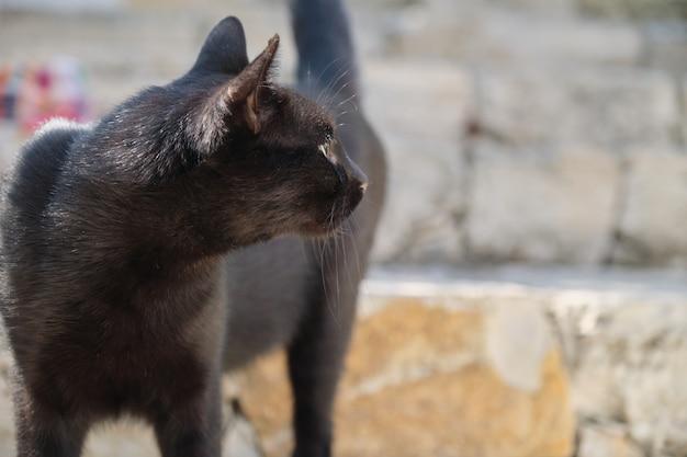 Mooie volwassen zwarte mannelijke kat, straatroofdier met gewond oor, kopie ruimte