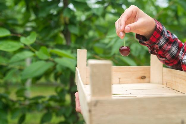 Mooie vrouw boer bedrijf kersen fruit in groene boomgaard