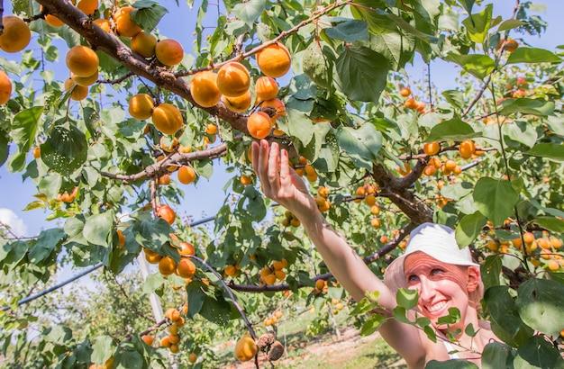 Mooie vrouw plukken abrikozen verlicht door warme zomer licht