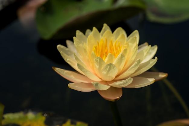 Mooie waterlelie of lotusbloem in vijver.