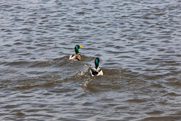 Mooie watervogels eenden in de lente of zomer watervogels wilde eenden in het wild kleine lage wilde eenden