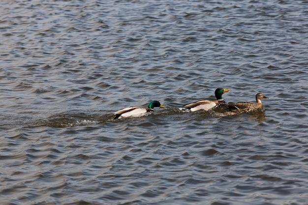 Mooie watervogels eenden in de lente of zomer, watervogels wilde eenden in het wild, kleine lage wilde eenden