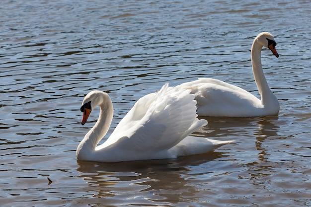 Mooie watervogels twee vogels zwaan op het meer in de lente