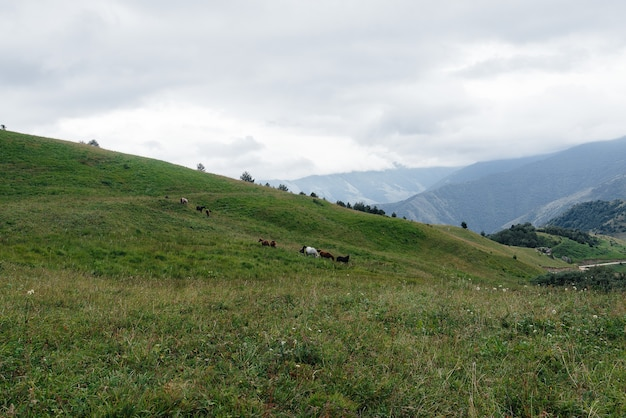 Mooie wilde paarden grazen op groene hooggelegen weilanden.