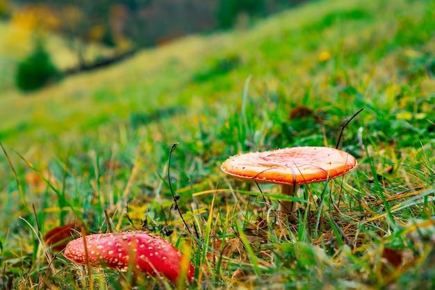 Mooie wilde paddestoelen op een groene weide in een dicht veelkleurig bos in de karpaten in de herfst
