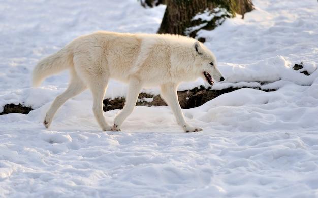 Mooie wilde witte wolf in de winter