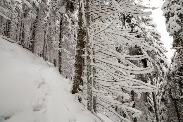 Mooie winter foto. lange vuren bomen bedekt met diepe sneeuw en vorst op heldere hemel. gelukkig nieuwjaar en merry christmas wenskaart.
