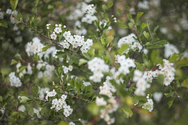 Mooie witte amandelbloemen op de boom en de bokehachtergrond