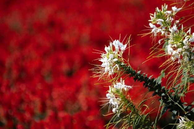 Mooie witte bloem of cat whiskers-bloem op rode salvia-bloemen in de tuin bloeien