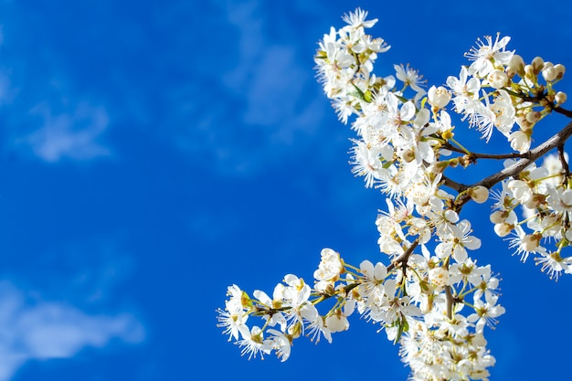 Mooie witte bloemen close-up op een achtergrond van blauwe hemel. een tak van een bloeiende kersenpruim boom. achtergrond met plaats voor tekst.
