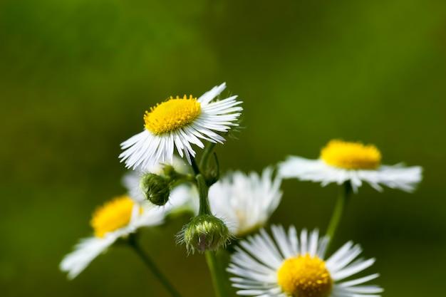 Mooie witte bloemen in bloembedden in het lenteseizoen bloemen close-up en groeien in een bloembed in de stad bloeiende planten