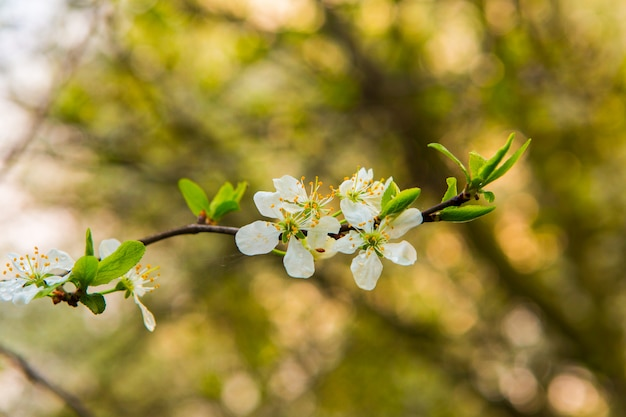 Mooie witte bloemen van appelboom in de tuin. lente bloei op takken